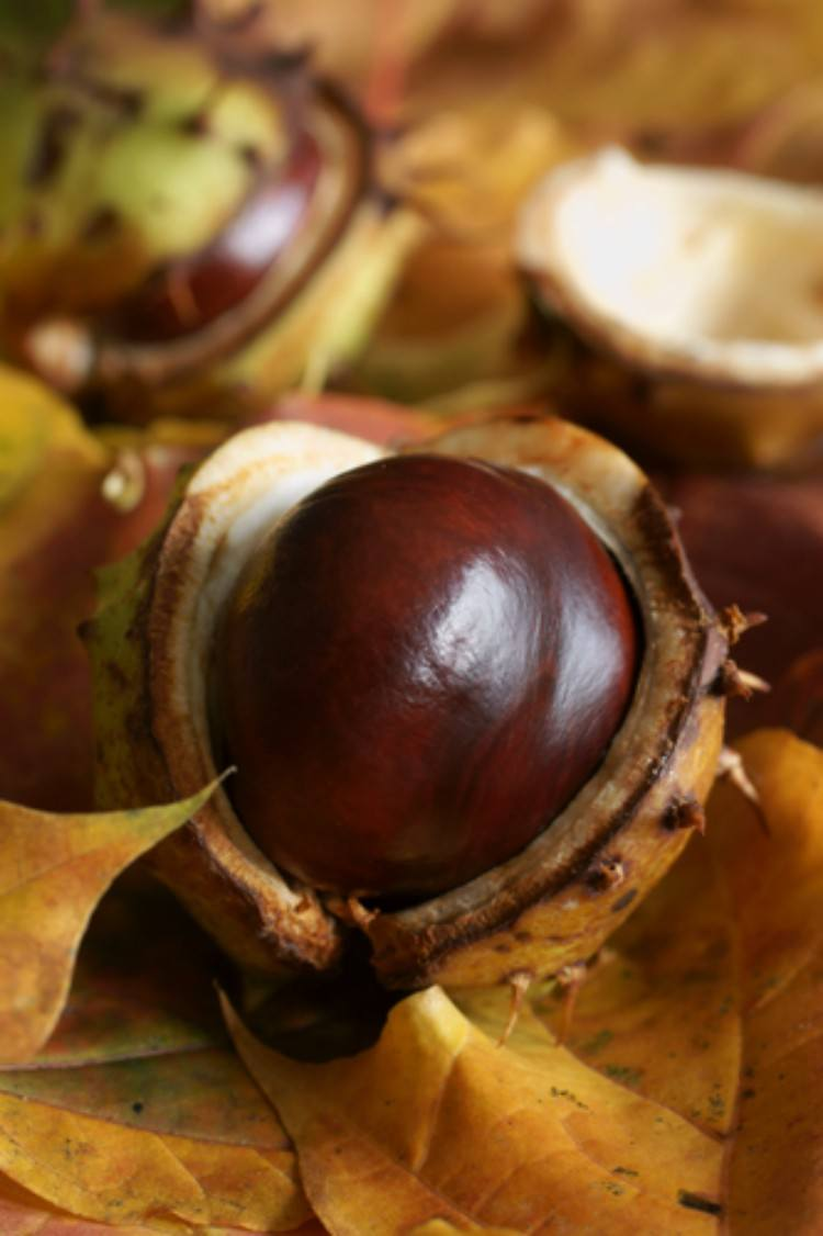 A chestnut seed as a remedy.