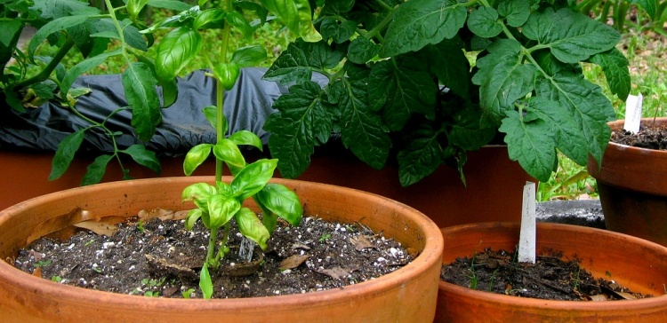 Garden of clay pots growing basil and tomatoes